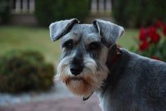 Adulto, schnauzer miniatura del perro dulce en un jardín en hierba verde Imágenes de archivo libres de regalías
