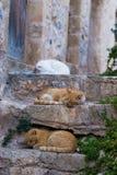 Adulto smarrito del gatto di rosso su una parete fra le vie medievali di Th Fotografia Stock Libera da Diritti