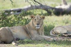 Adulto sub, león africano masculino (Panthera leo) Tanzania Foto de archivo libre de regalías