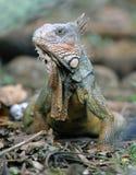 Adulto verde de la iguana, guanacaste, Costa Rica Imagen de archivo
