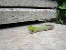 Adulto verde del lagarto Fotos de archivo