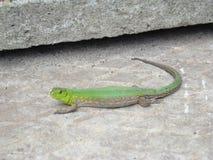 Adulto verde del lagarto Fotos de archivo libres de regalías