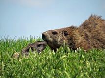 Adulto y bebé lindos Groundhogs Foto de archivo libre de regalías