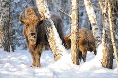Adulto y bisonte europeo del bebé en bosque del abedul del invierno Foto de archivo libre de regalías