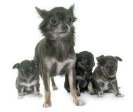 Adulto y chihuahua de los perritos Imagen de archivo libre de regalías