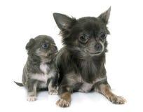 Adulto y chihuahua de los perritos Fotos de archivo