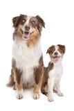 Adulto y perrito australianos del pastor Foto de archivo libre de regalías