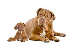 Adulto y perrito de Dogue de Bordeaux Fotografía de archivo libre de regalías