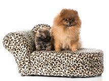 Adulto y perrito de Pomeranian Imágenes de archivo libres de regalías