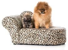 Adulto y perrito de Pomeranian Imagen de archivo libre de regalías