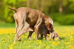Adulto y perrito de Weimaraner que juegan en el prado Fotografía de archivo