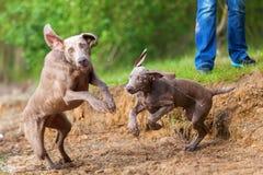 Adulto y perrito de Weimaraner que juegan orilla del lago Imagen de archivo libre de regalías