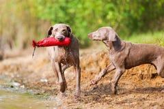 Adulto y perrito de Weimaraner que juegan orilla del lago Fotos de archivo