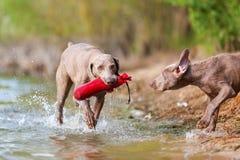 Adulto y perrito de Weimaraner que juegan orilla del lago Imagen de archivo