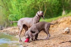 Adulto y perrito de Weimaraner que juegan orilla del lago Fotos de archivo libres de regalías