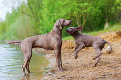 Adulto y perrito de Weimaraner que juegan orilla del lago Fotografía de archivo