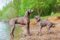 Adulto y perrito de Weimaraner que juegan orilla del lago Imagenes de archivo
