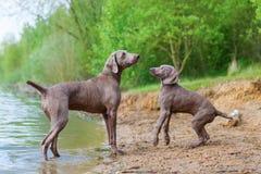 Adulto y perrito de Weimaraner que juegan orilla del lago Foto de archivo