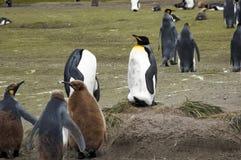 Adulto y pingüinos de rey juveniles fotos de archivo