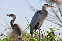 Adulto y polluelo de la garza de gran azul en jerarquía Foto de archivo