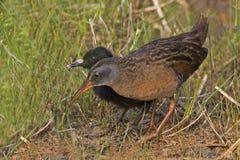 Adulto y polluelo, Virginia Rail, limicola de Rallus Fotografía de archivo libre de regalías