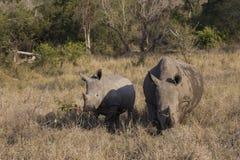 Adulto y rinoceronte del bebé en Suráfrica Imagen de archivo