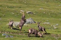 Adultos del cabra montés en combate Imagen de archivo libre de regalías