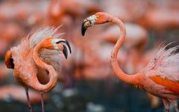 Adultos del juego dos del flamenco del Caribe cuba Reserva Rio Maxim а Fotografía de archivo