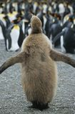 Adultos del polluelo del pingüino en fondo Fotos de archivo