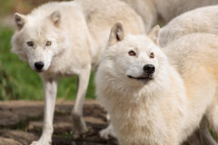 Adults arctic wolves Royalty Free Stock Image