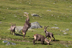 Adults of ibex in combat. Group of male ibex in Gran Paradiso Park Royalty Free Stock Image