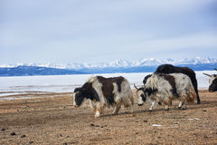 Adults Mongolian yaks. Go out to pasture along shore of Lake Hovsgol . Mongolia Royalty Free Stock Images