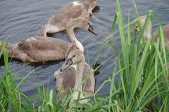 Adults swan chicks. Stock Photo