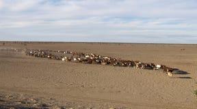 Adunata del bestiame Fotografia Stock