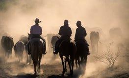 Adunata del bestiame Fotografie Stock