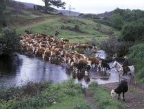 Adunata del bestiame Immagine Stock