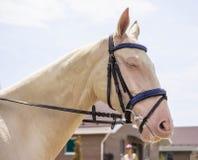 Dressage horse head. Cream akhal-teke horse portrait during dressage competition. stock photography