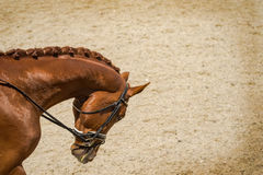 Dressage horse head. Brown chestnut horse portrait during dressage competition. Royalty Free Stock Photo