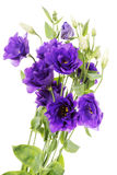 Advantage purple flower eustoma Stock Image