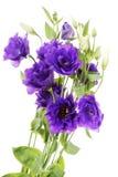 Advantage purple flower eustoma. (lisianthus), Gentianaceae, isolated on white stock image