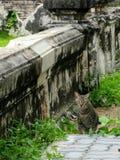 Advanture del gato que vaga en templo viejo Imagen de archivo