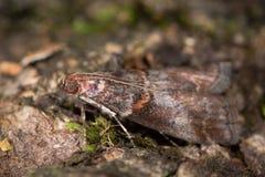 Advenella d'Acrobasis, une mite micro dans le Pyralidae de famille Images stock