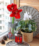Advent Composition from a cyclamen and hippeastrum Royalty Free Stock Photos