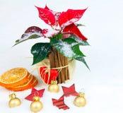 Advent star in Christmas decoration, poinsettia Royalty Free Stock Photos