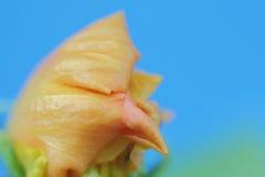 Advento da flor nova, fundo, fotografias macro Imagens de Stock