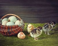 Adventures of newborn chicks Stock Image