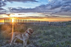 Adventurous dog. Labrador dog breed explores a beach visit for the first time in his life in a beautiful sunset Stock Photos