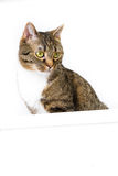 Advertising with cat. Brown tiger cat with a white empty shield stock photos