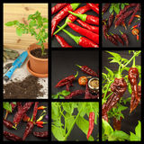 Advertising of spicy food. New Collage of hot peppers. Advertising chili sale. Different kinds of chili. Royalty Free Stock Image