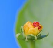 Adwent nowi kwiaty, tło, makro- fotografia Zdjęcia Royalty Free